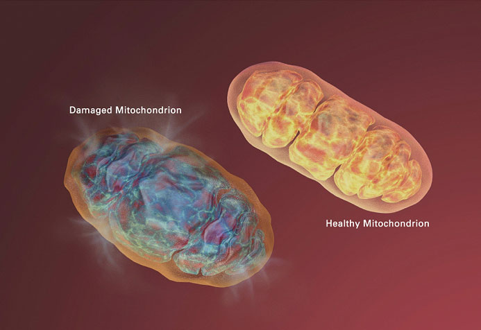 Damaged and healthy Mitochondrion